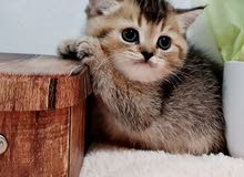 5000-30000dhs per kitten scottish fold and straight available in UAE different