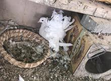 حمام عرايس امريكي ابوالهزه