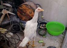 دجاجات للبيع