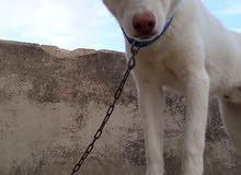 كلب للبيع عمرو 8 اشهر  الكلب لعوب