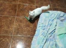 قطط للبيع شيرازي لعوبه عمرها ثلاثه اشهر بس لعدم التفرغ