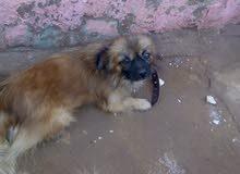 كلبه لولي عمر سنه