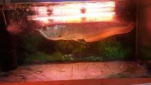 Arowana Fish Pure (Big size)