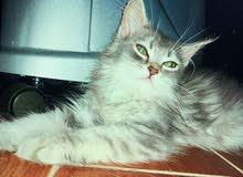 قطط فارسيات انثى وذكر للبيع العمر شهرين ونص