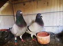 zajiel breeding pair  Be&dv