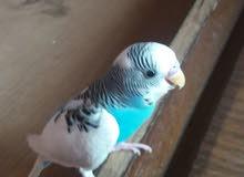 طيور البادجي بحالة جيدة للبيع)