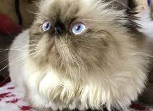 قطة هميلايا