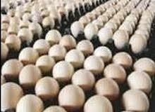 بيض ابيض للبيع