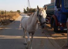 حصان عمر ست سنوات اصيل  للحراث  وبصحة ممتازة بالصلاة عالنبي