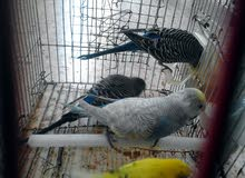 مجموعات طيور  بقلينو للبيع