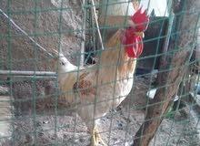 دجاج معمل 3 ديوجه للبيع