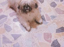 كلب شيتزو ذكر عمره سبعة اشهر