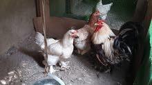 برهاما للبيع ديج ودجاجتين بياضات