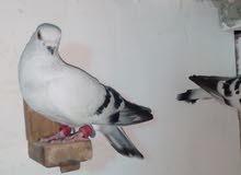 قطعت حمام للبيع 8طيور صوريخ بس طيرين البلق نسل ول مخلوف البلندي مقصوص