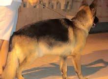 كلب للبيع نوعه جيرمن شورتلاين