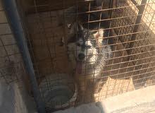 كلب مالموت بيج ساير