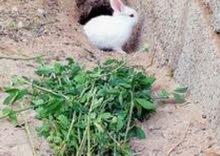 للبيع ارانب عما نيات