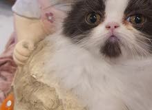 قطه فان بلاك وايت