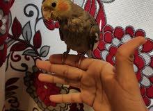 cockatiel bird for sale