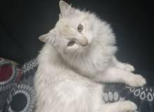 قط شيرازي نادر من نوعو ذهبي
