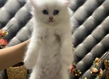 قطط شيرازي عمر 40 يوم