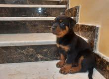 Rottweiler Puppies ( 45 days ) روت وايلر