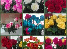 الوردة فرع الهوائية بألوان مختلفة