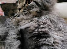 قط شيرازي ذكر للبيع العمر 5 اشهر
