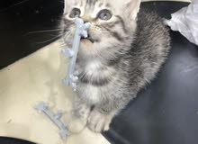 kitten for sell 50 days old playing full