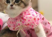 قطط شانشيلا