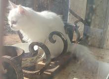 قطه شيرازي انثي عمرها اربع شهور