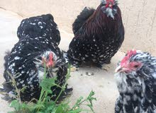 3 دجاجات وفروجين استرالي فولي لحية وداج للبيع