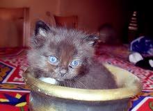 قطط شيرازي عيون زرقاء
