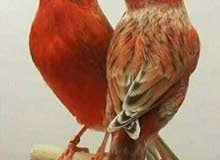 طيور حب امراوس الكناري زوج