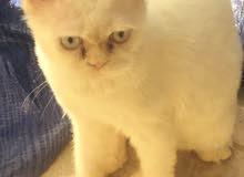 قط هيمالايا .. ذكر اورانج انثى تشوكلت