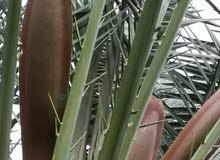 نبات طلع النخيل