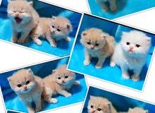 beautiful shirazi kitten