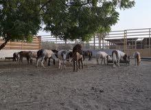 خيول البوني للاطفال