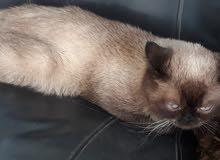 قطة همالايا للبيع بسعر مغري