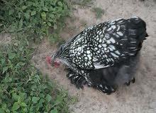دجاج برهما سبرايت درجة اولى