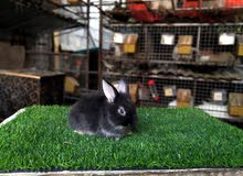 أرنب تهجين