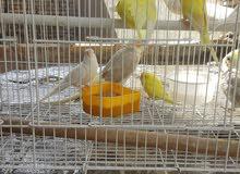 طيور حب زوج صفر وياهن فرخهن محلف وثنين افحله بيض المجموع كله 50 الف قفل