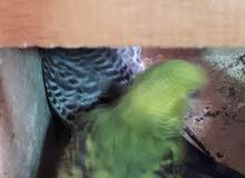 جوز طيور الحب البادجى منتج ومعهم 3 فروخ