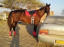 حصان انجليزي فحل