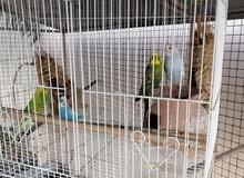 طيور الحب او الباجي مع القفص ب 20 ريال قابل للتفاوض