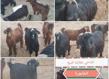 معز عمانيات  وتيوسة مطعومات فالمزرعة