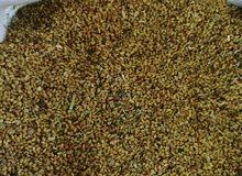 بذر البرسيم (قت عماني) انتاج محلي و بذر مضمون من اجود النوعية