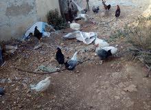 دجاج بلدي ومفتول و دجاج شبرايت