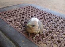 جوز عصافير صقير