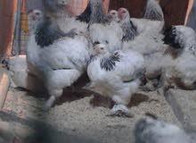 للبيع دجاج دكتور خط اول